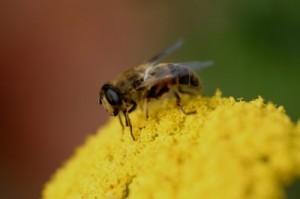 soulager la douleur de piqûres d'abeilles
