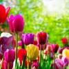 Planter des tulipes dans la maison