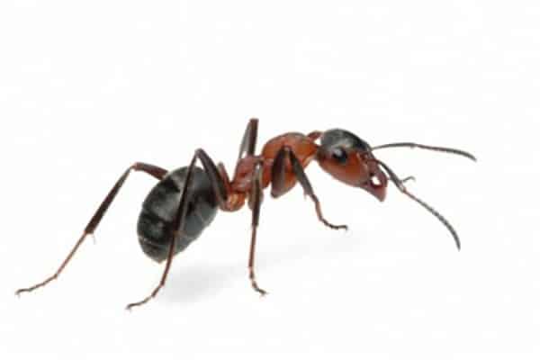 19 solutions efficaces pour se débarrasser des fourmis