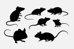 20 remèdes pour se débarrasser des rats et souris